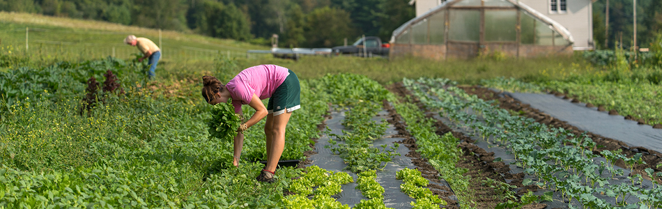 Sweetland Farm - Harvesting Greens