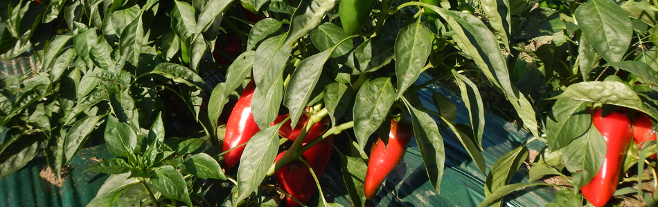 Sweetland Farm - peppers